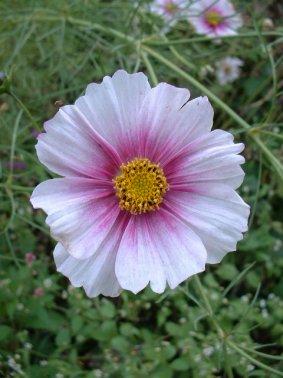 Cosmos Flower Garden Seeds