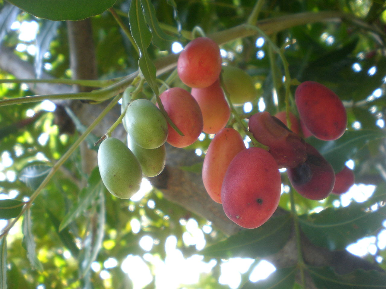 Unusual and exotic fruit and nut plant seeds from around the world mightylinksfo