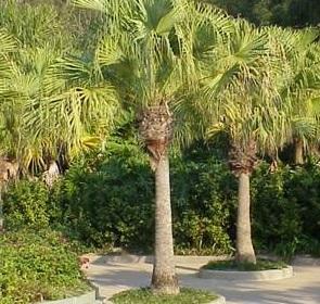 chinese fan palm fruit - photo #47