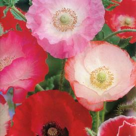 National native and popular flowers of poland image of the national flower information about corn poppy mightylinksfo