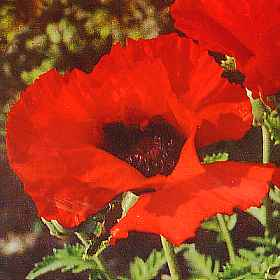 Our favorite poppy flower seed page 2088 brilliant red oriental poppy papaver orientale brilliant mightylinksfo Choice Image
