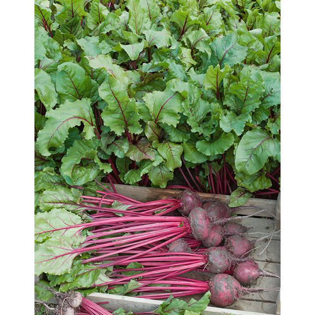 Jims Favorite Beets Vegetable Seeds
