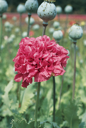 Our favorite poppy flower seed page mightylinksfo