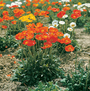 Our favorite poppy flower seed page 2456 matador poppy papaver nudicale mightylinksfo