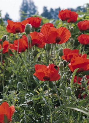 Our favorite poppy flower seed page 2462 allegro poppy papaver orientalis mightylinksfo