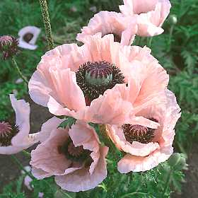 Our favorite poppy flower seed page 2467 coral reef papaver orientalis mightylinksfo