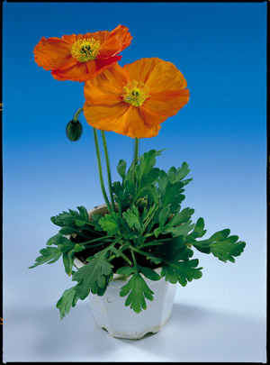 Our favorite poppy flower seed page 2472 wonderland orange poppy papaver nudicale mightylinksfo