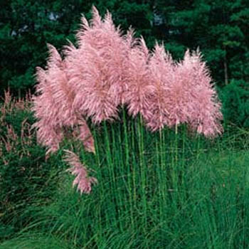 Seed packets of ornamental grasses from around the world 2520 pink pampas grass cortaderia sellonia pink workwithnaturefo