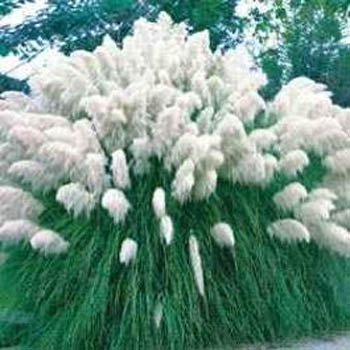 Zone 3 Ornamental Grasses Seed packets of ornamental grasses from around the world 2521 white pampas grass cortaderia sellonia white workwithnaturefo