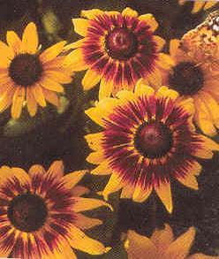 Seeds of Black Eyed Susans  Rudbeckia  Plants for the home gardener