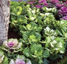 How to Grow Cabbage in Your Garden | Danny Lipford