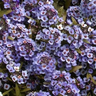 Jim S Favorite Alyssum Flower Garden Seeds