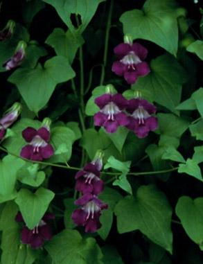 Jim S Favorite Asarina Shooting Stars Flower Seeds