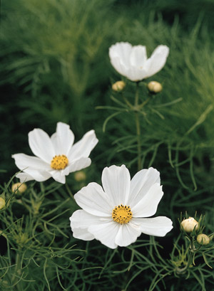 Cosmos Flower Garden Seeds