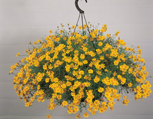 Seeds for hanging basket plants 3061 shooting star thymophylla tenuiloba mightylinksfo