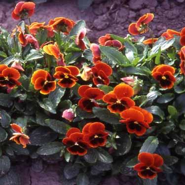 Perennial 200 Viola Seeds Viola Arkwright Ruby