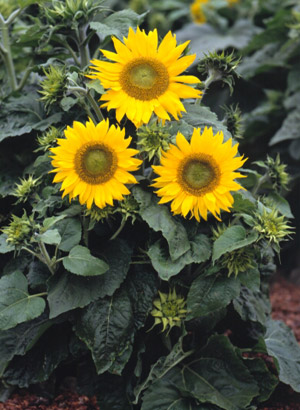 3252 Irish Eyes Sunflower