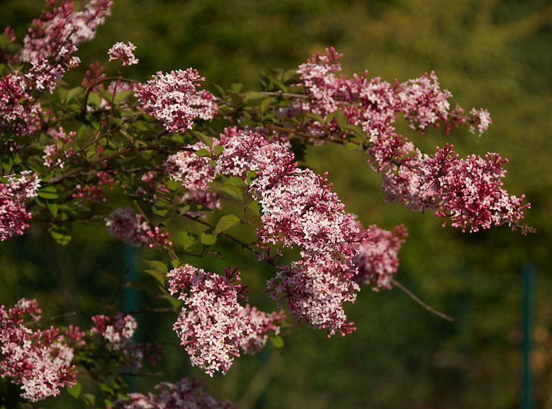 Garden Bush: Seedman's Little Leaf Lilac Seeds