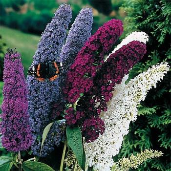 Jim S Favorite Butterfly Bush Buddleia Seeds