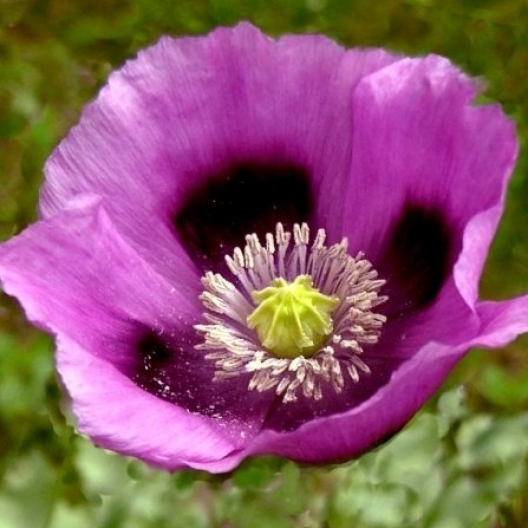 Our favorite poppy flower seed page 3536 hungarian breadseed poppy papaver somniferum mightylinksfo Gallery
