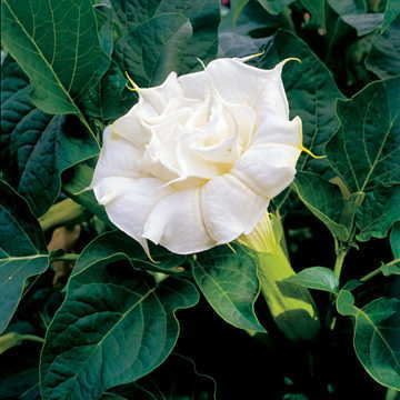 Datura and brugmansia seeds from around the world 3590 double white datura metel mightylinksfo