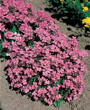 Seeds for groundcover plants for the home gardener for Perennial ground cover with pink flowers