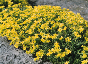 Seeds for groundcover plants for the home gardener ip252 stonecrop sedum acre an excellent performing ground cover mightylinksfo Image collections