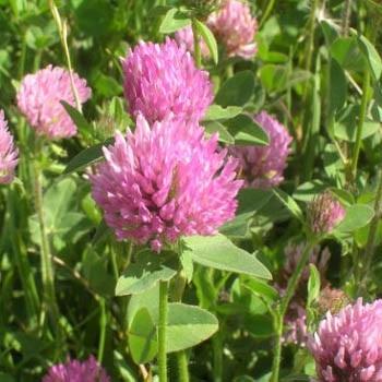 Seeds for groundcover plants for the home gardener 8ser40 red clover trifolium pratense mightylinksfo