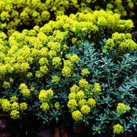 Seeds for groundcover plants for the home gardener trn251 yellow mat alyssum serpyllifolium mightylinksfo