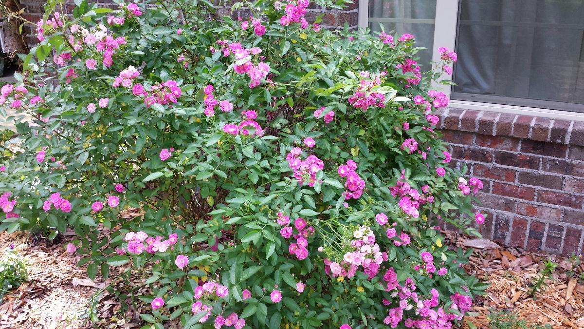 bm02 angel wings miniature roses rosa chinensis - Mini Roses Care Indoor