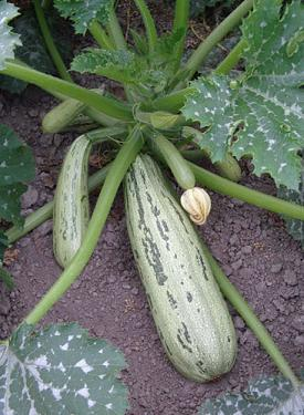 Jim S Favorite Summer Squash Seeds