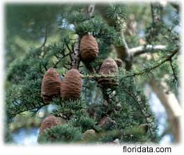 Cedars   Cedrus Species  Western Red Cedar Cones