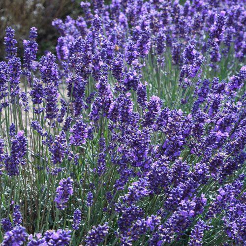 Seeds For Lavender Plants For The Home Gardener