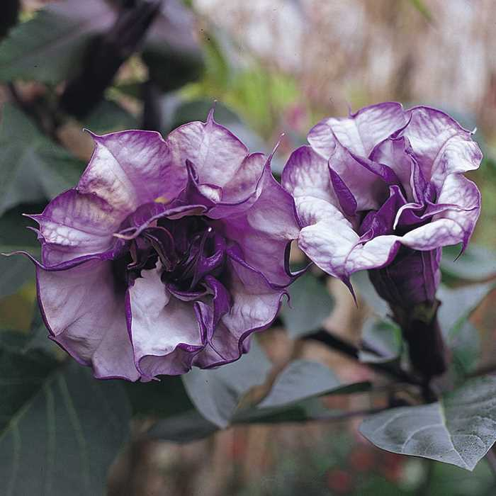 Datura And Brugmansia Seeds From Around The World