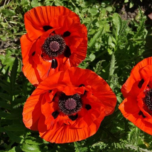 Our favorite poppy flower seed page d9827 orientale scarlet poppy papaver orientale mightylinksfo
