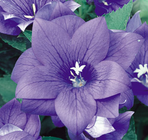 blue or purple flowers