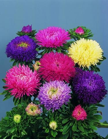 jim's favorite aster flower seeds, Natural flower