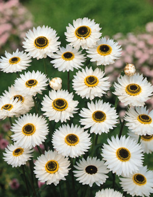 New annual flower garden seeds fb171 pierrot paper daisy helipterum roseum fleuroselect exciting color combo of snow white petals with yellow bordered black center mightylinksfo