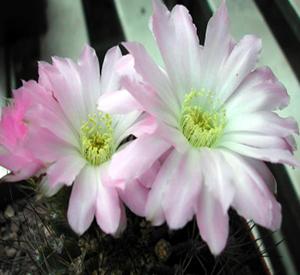 Unusual and exotic cacti plants from seeds fb176 acanthocalycium peitscherianum mightylinksfo