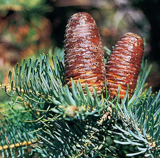Fir tree seeds from around the world