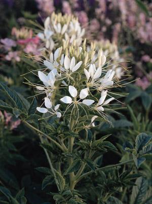FL050 Pure White Spider Plant ( Cleome )