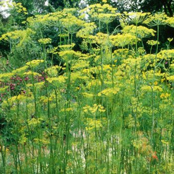 how to keep fresh dill from wilting
