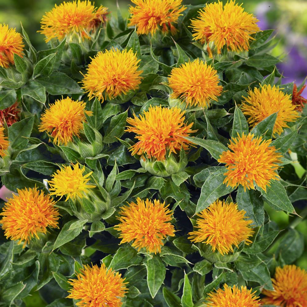 Seedman's Safflower Seeds