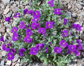 Jim 39 s favorite flower garden seeds for Purple flower ground cover perennial