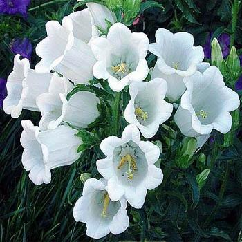 Jims favorite campanula flower garden seeds ip012 canterbury bells campanula medium white mightylinksfo