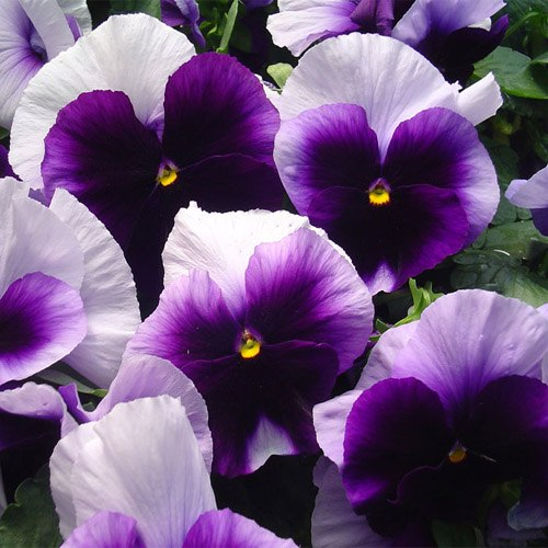 10 Pansy Black Beauty: Viola Seeds From Around The World In Retail Packs