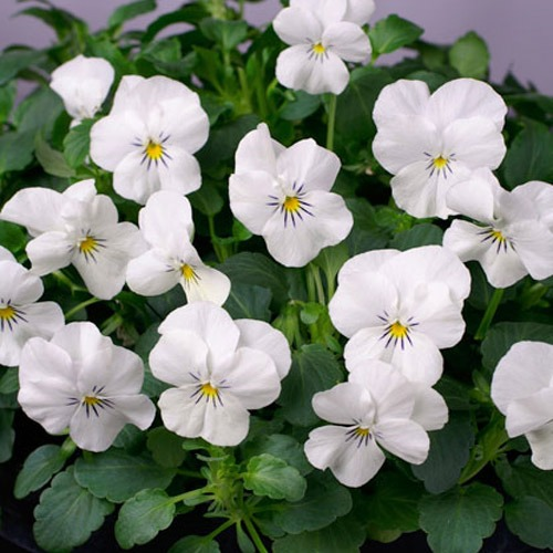 Viola Seeds From Around The World In Retail Packs