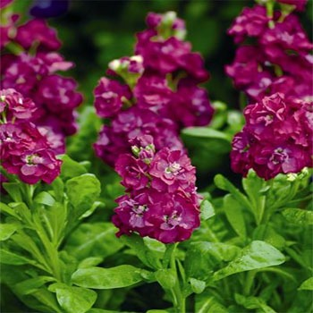 IP104 Deep Rose Ten Week Dwarf Stocks ( matthiola icana )