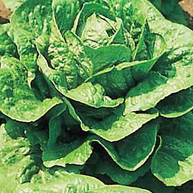 Image result for lettuce in germany