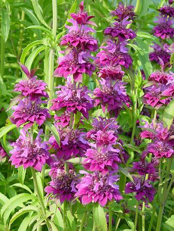 Best Flowering Perennials For Zone 5